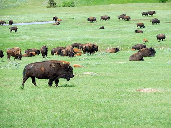 Custer Park Buffalo